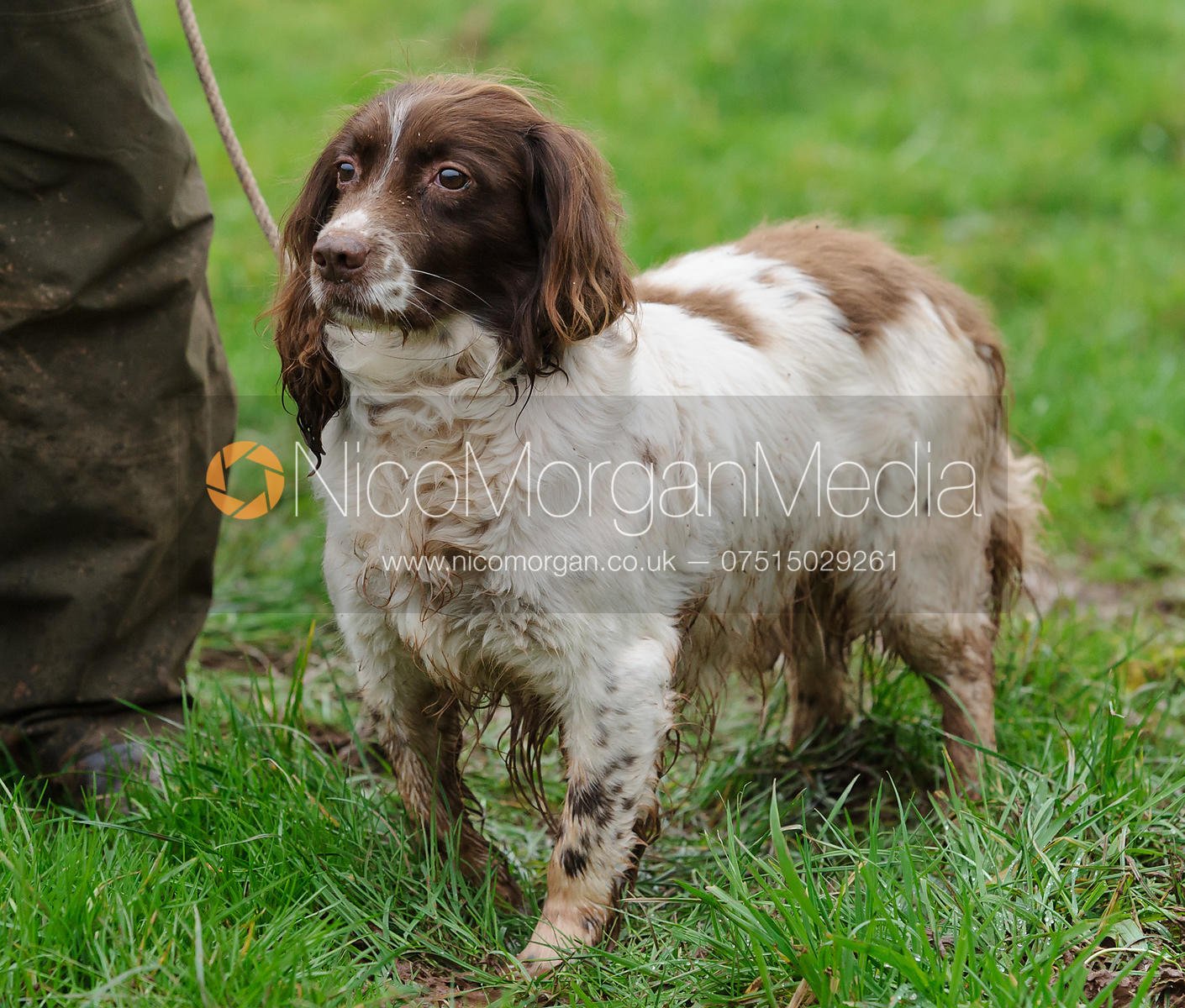 Game shooting images - a springer spaniel gundog