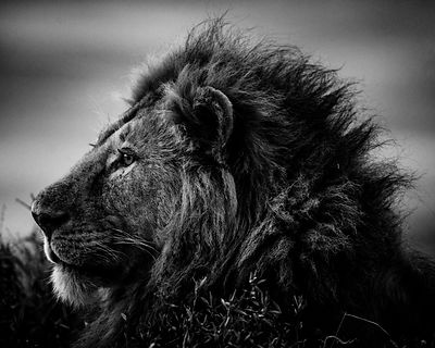 0110-Strong_and_sweet_lion_Tanzania_2015_Laurent_Baheux