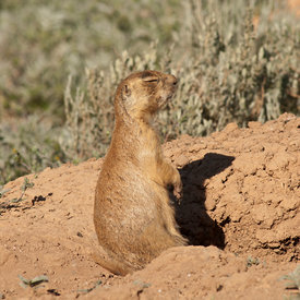 Prairie Dogs wildlife photos