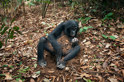Bonobo (Pan paniscus) adolescent female 'Mwanda' playing with leaves and soil on the forest floor, Lola Ya Bonobo Sanctuary, ...