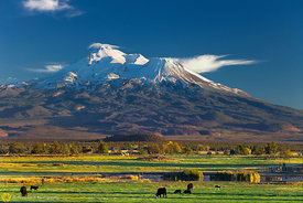 Cattle Grazing Below Mt. Shasta #1