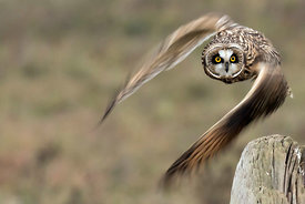 December - Short-eared Owl