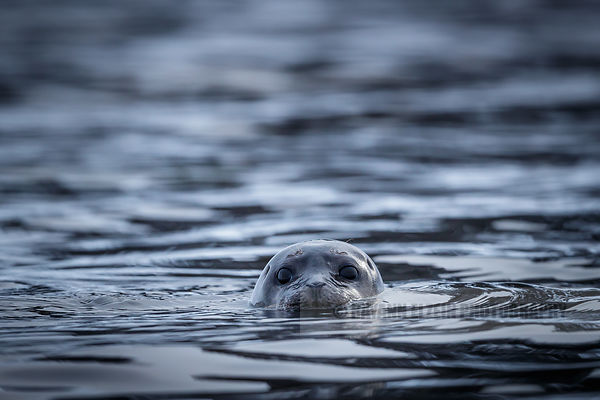 Cute harbour seal eyes