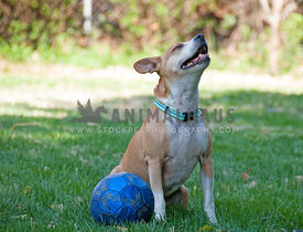 shorthair dog with her nose in the air and a ball