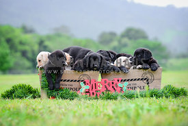 Christmas puppies in a field