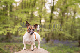 Jack Russell dog standing on a log surrounded by bluebells