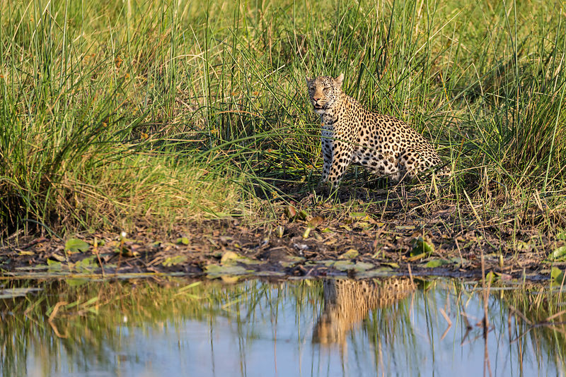 Female Leopard at a Waterhole