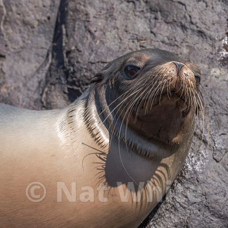Galapagos_sea_lion-1_May_08_20161