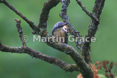 Eurasian Nuthatch (Sitta europaea ssp caesia) scratching the base of its bill, Lake District National Park, Cumbria, England