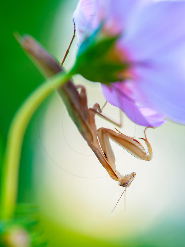 Mante religieuse - Praying Mantis (Mantis religiosa)