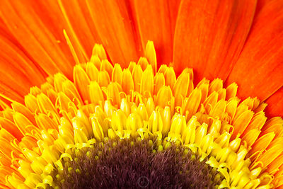 Orange Daisy Half