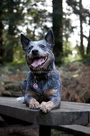 smiling cattle dog laying on picnic table with trees in background