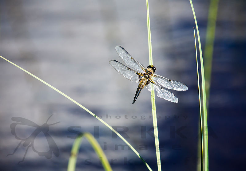 The Four-spotted Chaser