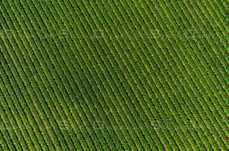 Rows and rows of soybeans grow in a farmer's field in Southern Ontario in summer