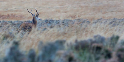 Red stag running