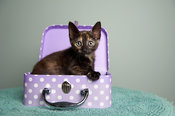 Tortoiseshell kitten in purple polka dot box