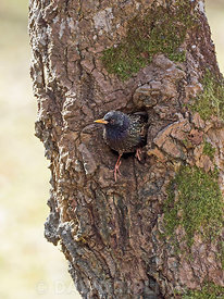 Common Starling Sturnus vulgarus emerging from nest in tree hollow Sutherland Scotland May