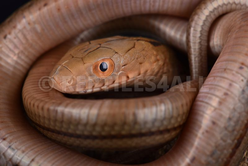 King Ratsnake (Elaphe carinata)0