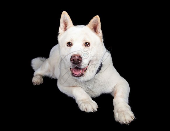 Full Length Of Akita Lying Against Black Background