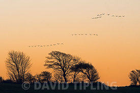 Pink-footed Geese Anser brachyrhynchus flying to roost over Cley Norfolk winter
