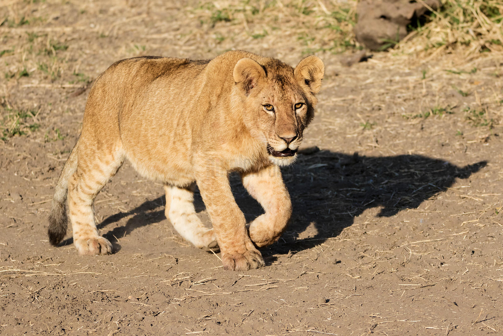 A Lion Cub with a Full Belly