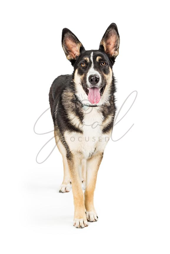 Shepherd Crossbreed Dog Standing Happy Expression