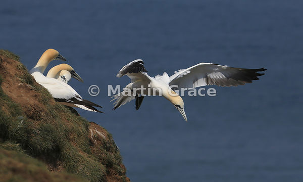 Northern Gannet (Morus bassanus) in flight, Bempton Cliffs (RSPB), East Riding of Yorkshire, England