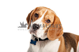 inquisitive beagle headshot looking to camera