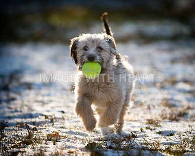 Small white shaggy dog with ball on snow