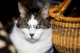 Multi-colored and gorgeous green-eyed tabby cat sitting near basket at home