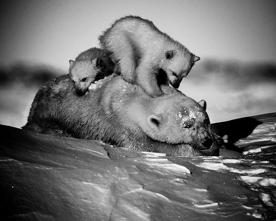 5781-Polar_bear_with_cubs_Manitoba_Canada_2016_Laurent_Baheux