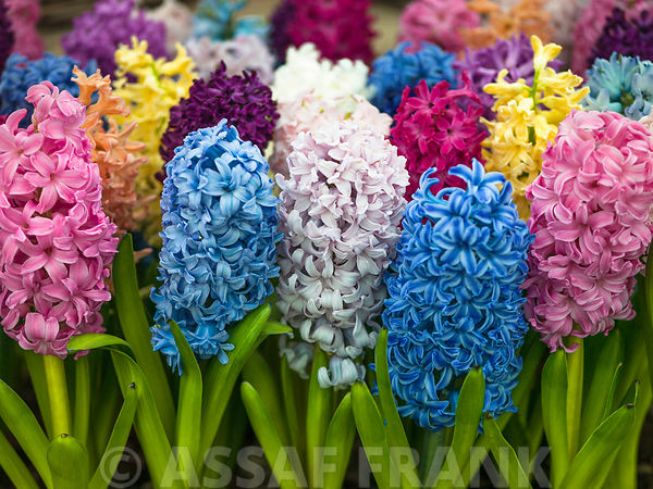 Multi colored Hyacinth flowers