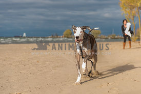 Great dane runs down the beach away from his mom, dragging leash