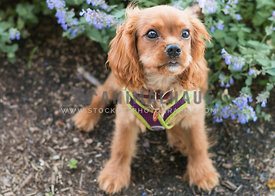 King Charles Cavalier puppy sitting in front of flowers