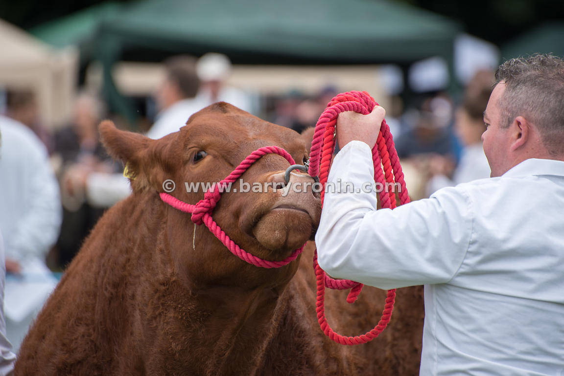 19th August, 2015.The 74th Virginia Agricultural Show, Virginia, County Cavan. Pictured is a handler showing off an animal.. ...
