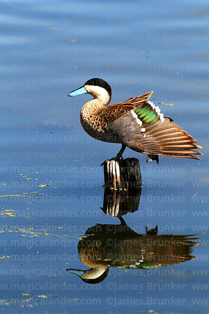 Puna teal (Anas puna) showing speculum
