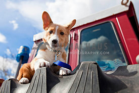 corgi Sheltie mix puppy on top of tractor wheel with american flag sticker