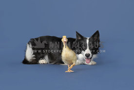 Border collie herding a duck against a blue background