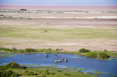 Blue wildebeest (Connochaetes taurinus) crossing a swamp. Amboseli National Park, Kenya.
