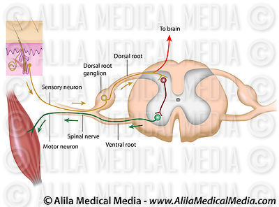 Reflex arc, labeled diagram.
