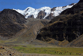 Llamas (Lama glama) grazing in valley below snowy peaks, Cordillera Apolobamba , Bolivia