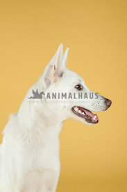 white german shepherd dog portrait looking to the right on yellow background