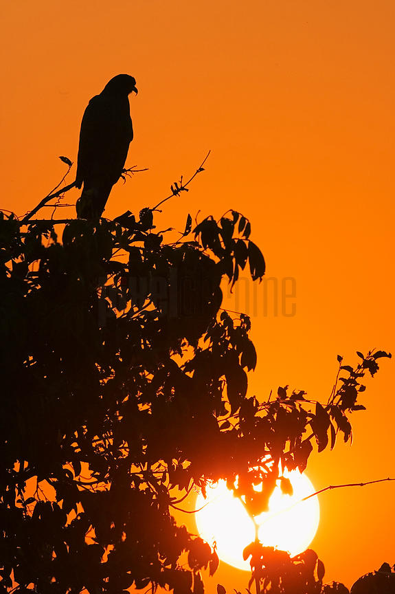Snail Kite silhouetted at sunset, Transpantaneira Highway, Pantanal, Mato Grosso, Brazil