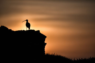 Curlew shadow