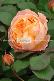 Rosa 'Lady Emma Hamilton' (Rose). Ausbrother. Obtenteur : David Austin. Hampton Court. Angleterre.