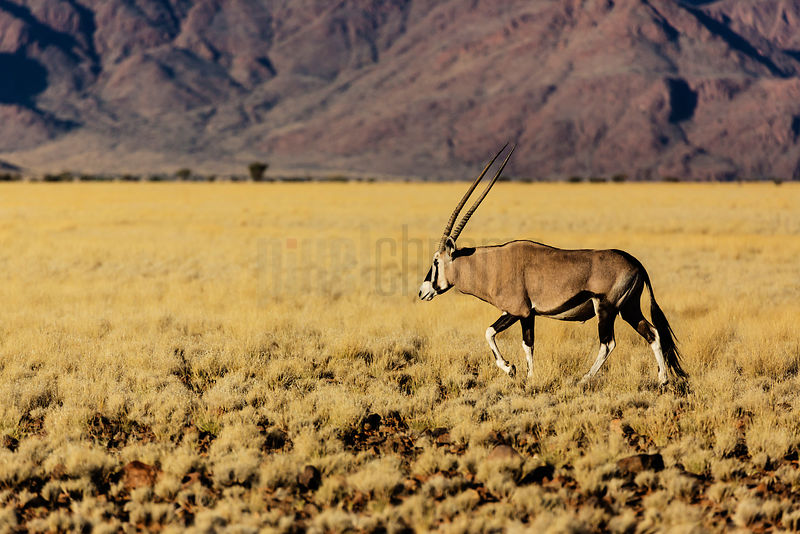 Gemsbok Walking on Dry Grassy Plain