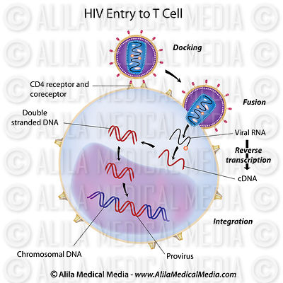 HIV entry to T cell