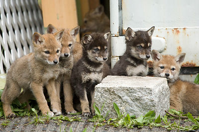 May - Coyote Pups
