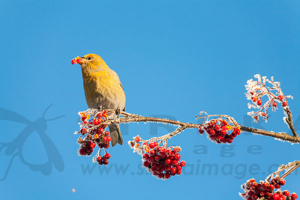 Pine grosbeak eating Rowan seeds