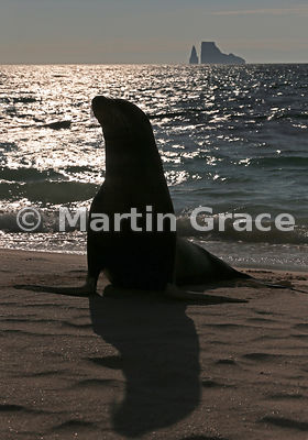 Galapagos Sea Lion (Zalophus californianus wollebacki or wollebaeki) on the beach at Cerro Brujo, San Cristobal, Galapagos, w...